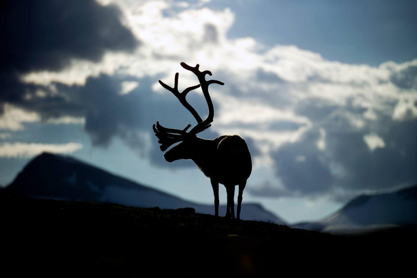 トナカイ の ツノ クリスマス の 時期 に 抜ける の は