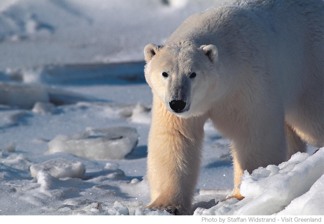 グリーンランドの哺乳類